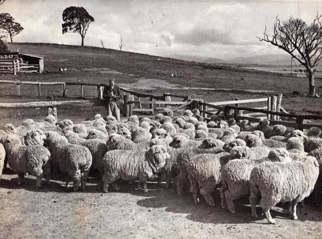 Merino ewe competition at Homeleigh 1951